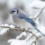 Blue Jay by Mdf