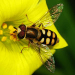 A male hoverfly by Alvesgaspar